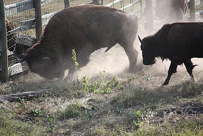 Bad bison that tried to skewer me while riding in Custer Park last fall!